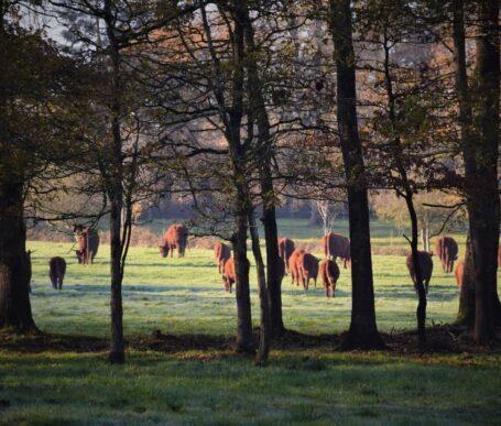 viande de qualite bio - qualite viande rennes - race salers sans croisement charolais ou charolaise